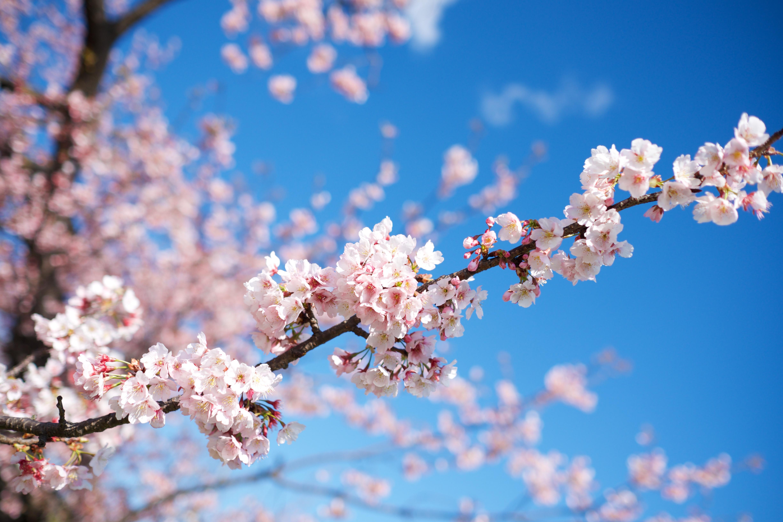 【TEST】cherry blossom