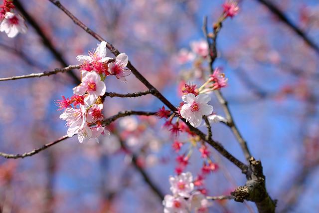 20140323 二子玉川土手桜