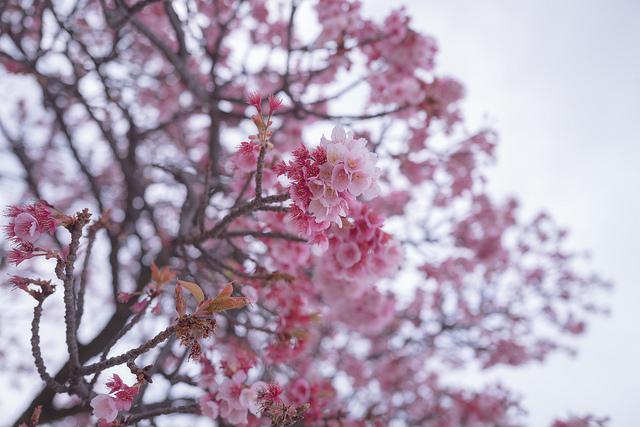 熱海桜 2019