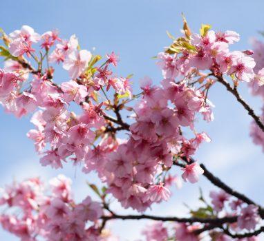 EOS HD で三浦海岸桜まつりの河津桜 #EOSHD