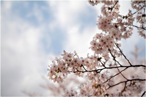 新宿御苑de桜!